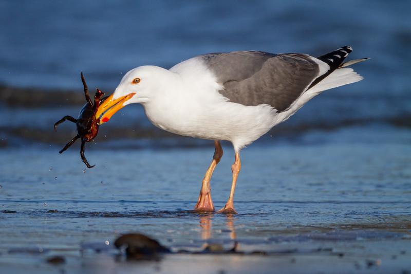 Western Gull - Half Moon Bay, CA, USA