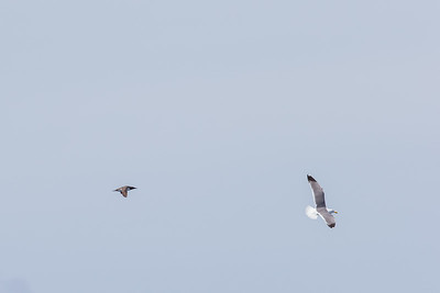 Common Murre and Western Gull - USA
