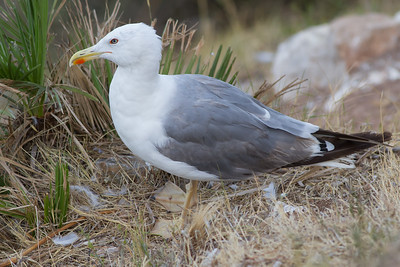 Yellow-legged Gull - Gibralar