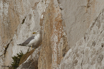 Yellow-legged Gull nesting on the cliffs of the Rock of Gibraltar; Mediterranean Steps, Gibraltar, UK.