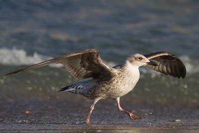 Yellow-legged Gull - Juvenile - Gibralar