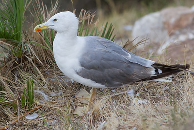 Yellow-legged Gull; Near Jew's gate, Gibraltar, UK.