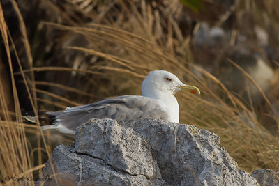Yellow-legged Gull nesting; Near Jew's gate, Gibraltar, UK.