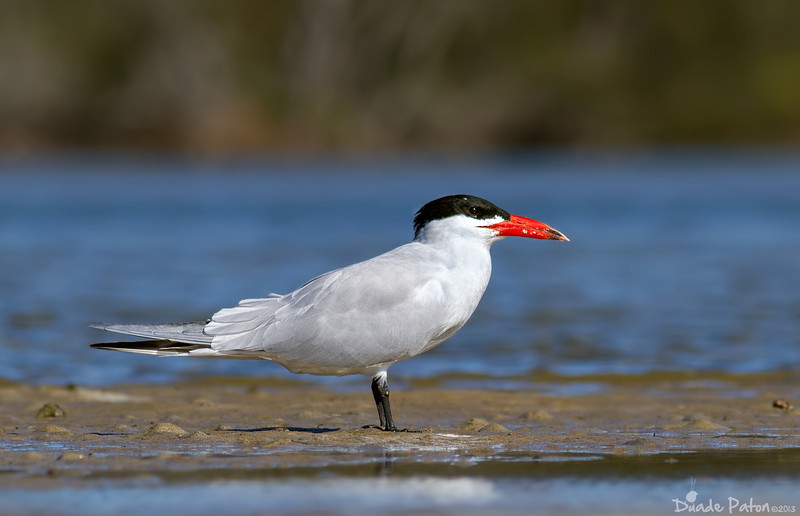 Caspian Tern - Breeding Plumage