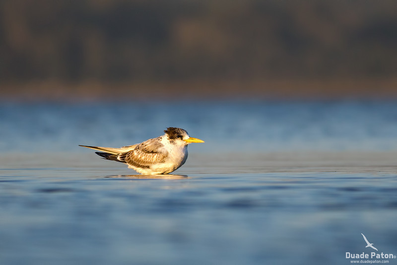 Crested Tern Juvenile