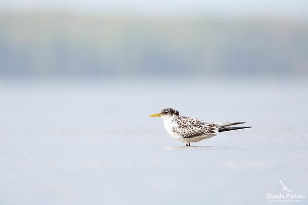 Crested Tern - Juvenile