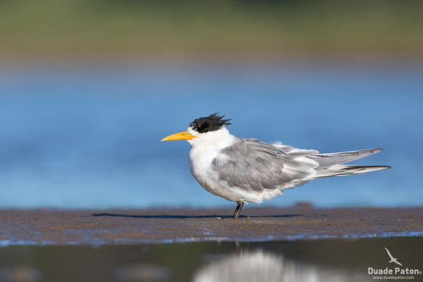 Crested Tern - Breeding Plumage