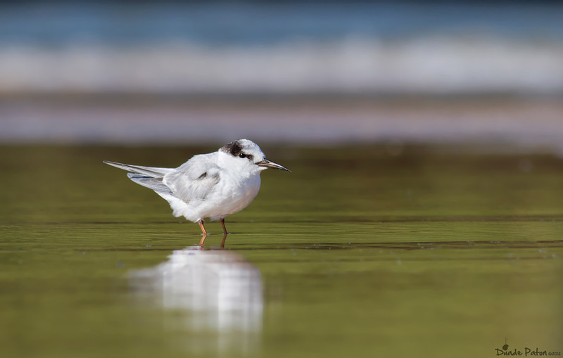 Little Tern - Non breeding