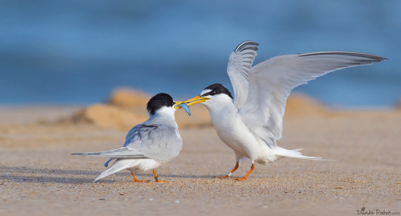 Little Terns