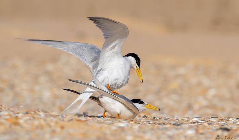 Little Terns Breeding