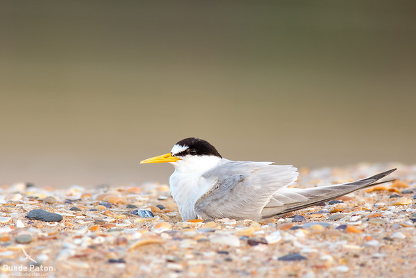 Little Tern on nest