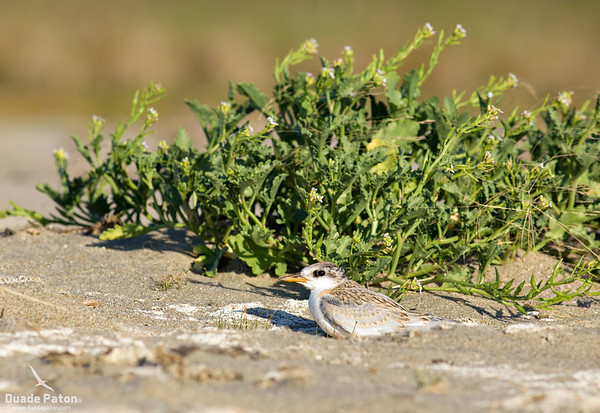 Little Tern Fledgling