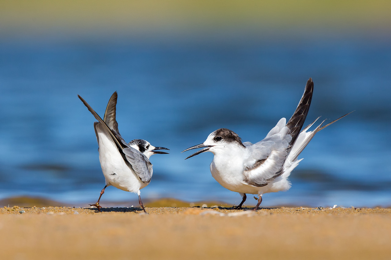 White-winged Black Tern & Common Tern