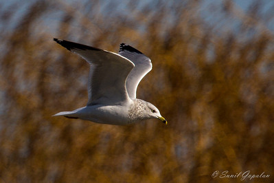 Ring-Billed Gull - High Point Church - Madison, WI - 2012