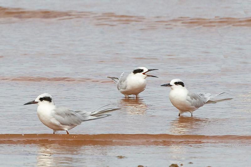 Forster tern