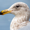 Young Glaucous-winged Gull