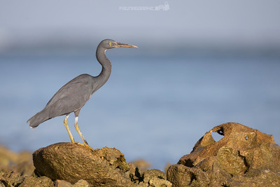 Eastern Reef Egret (Dark Morph)