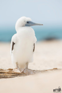 Brown Booby - Juvenile