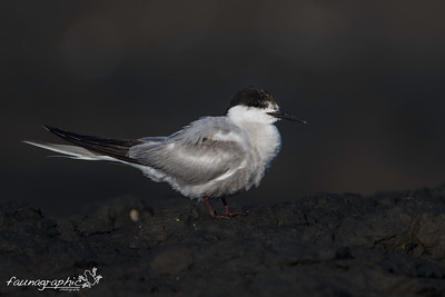 Common Tern - Adult Breeding Plumage