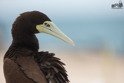Brown Booby - Female