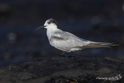 Common Tern - Adult Non Breeding Plumage