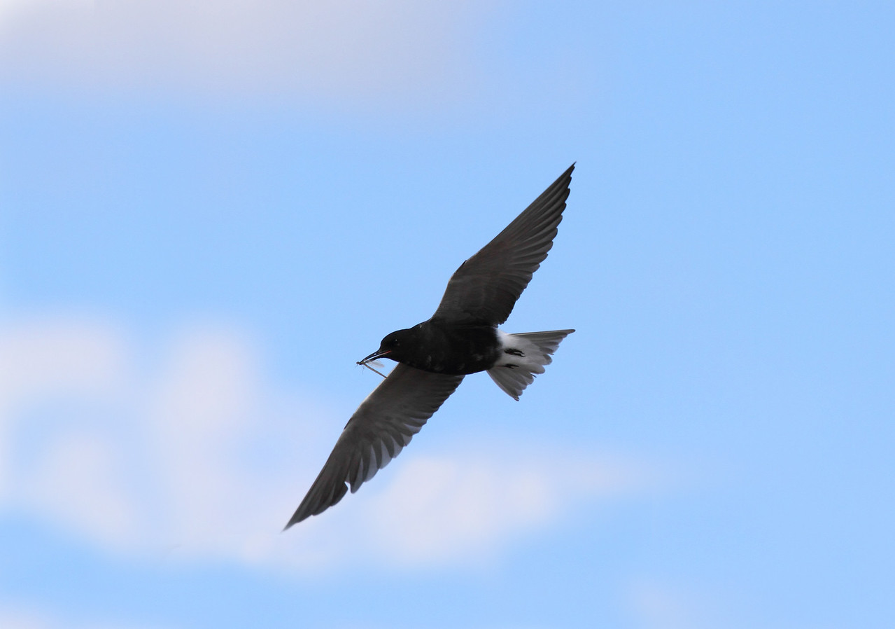Black Tern with Dragonfly