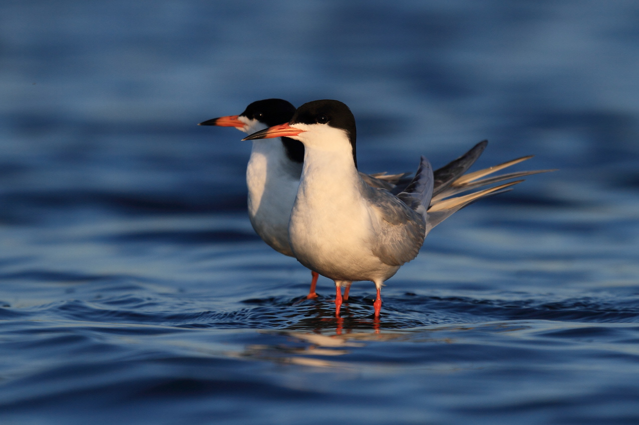 Forster's Tern Couple