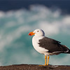 D Stowe_Pacific Gull-1170