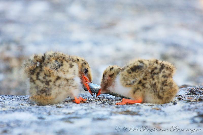 Common Tern chicks<br /> Eastern Egg Rock, ME