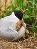 Common Tern<br /> Eastern Egg Rock, ME