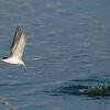 little tern Juvenile שחפית גמדית צעיר