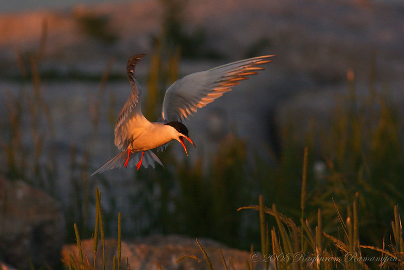 Common Tern<br /> Eastern Egg Rock, ME