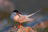 Roseate Tern<br /> Eastern Egg Rock, ME