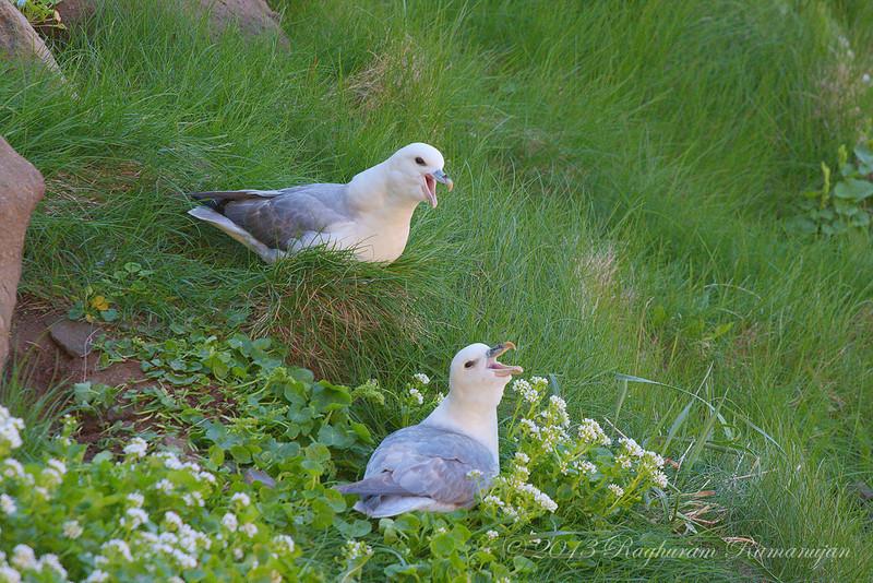 Northern Fulmars<br /> Drangey, Iceland