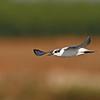 Whiskered Tern מירומית לבנת לחי