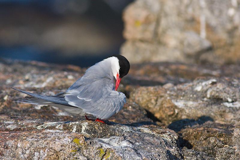 Arctic Tern<br /> Eastern Egg Rock, ME