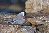 Arctic Tern<br /> Eastern Egg Rock, ME