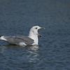 Armenian gull adult שחף ארמני בוגר