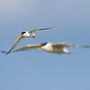 little tern (common tern on background)<br /> שחפית גמדית-ברקע שחפית ים