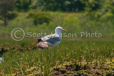 Herring Gull and American Oystercatcher