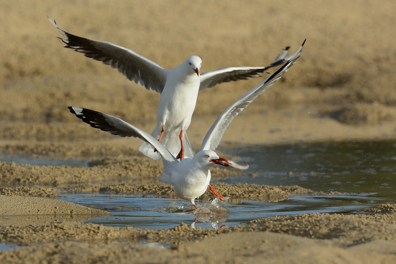 Silver gulls and a fish