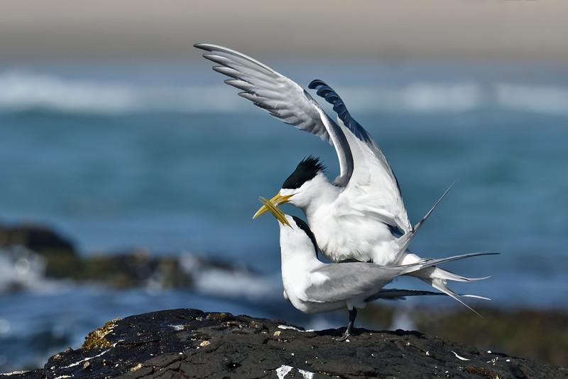 Crested Terns mating (Thalasseus bergii)