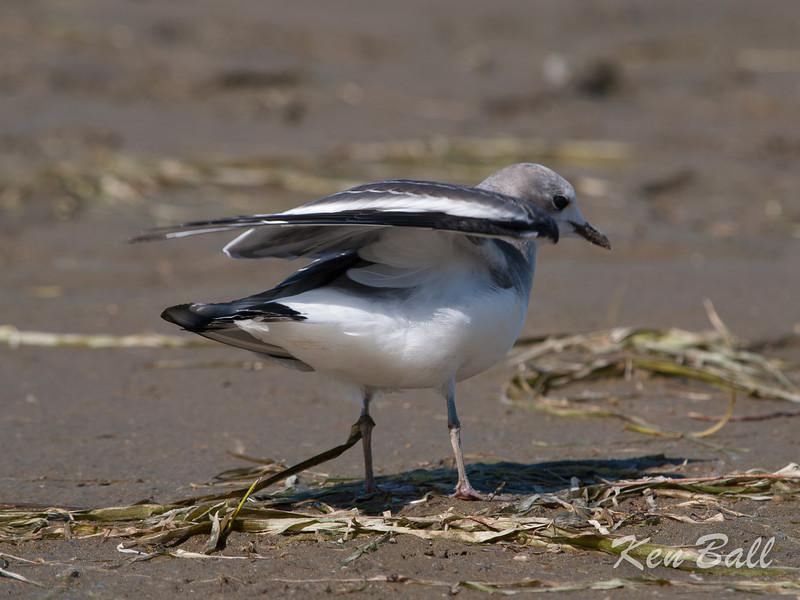 Andrew Haydon Park, Sabine's gull: Xema sabini