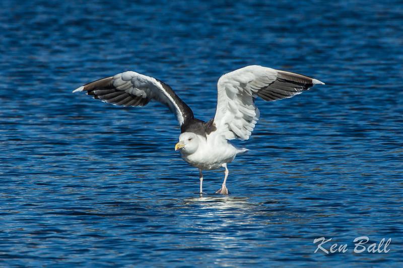 """I'm Great and I'm Black-Backed""<br /> Dows Lake, great black-backed gull: Larus marinus"