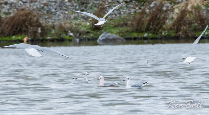 Chambly, Quebec, Ross's gull: Rhodostethia rosea, flanked by two Bonaparte's gull: Chroicocephalus philadelphia