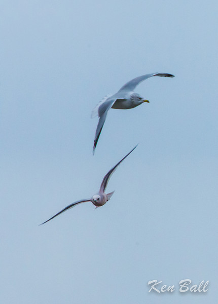 Chambly, Quebec, Ross's gull: Rhodostethia rosea flying just below the ring-billed gull: Larus delawarensis