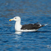 Dows Lake, great black-backed gull: Larus marinus