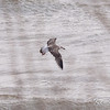 great black-backed gull: Larus marinus, second winter: 2nd winter, Thickson's Point