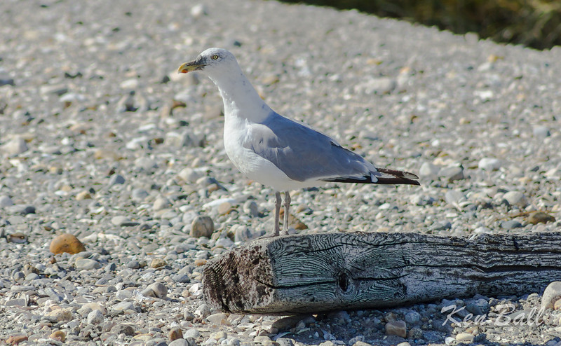 herring gull: Larus argentatus, adult non breeding: non breeding adult, Connecticut,Milford Point
