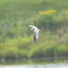 Avalon north pond, juvenile: immature, ring-billed gull: Larus delawarensis